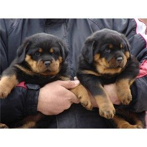 Male and female Rottweiler puppies for sale (313) 462-1348