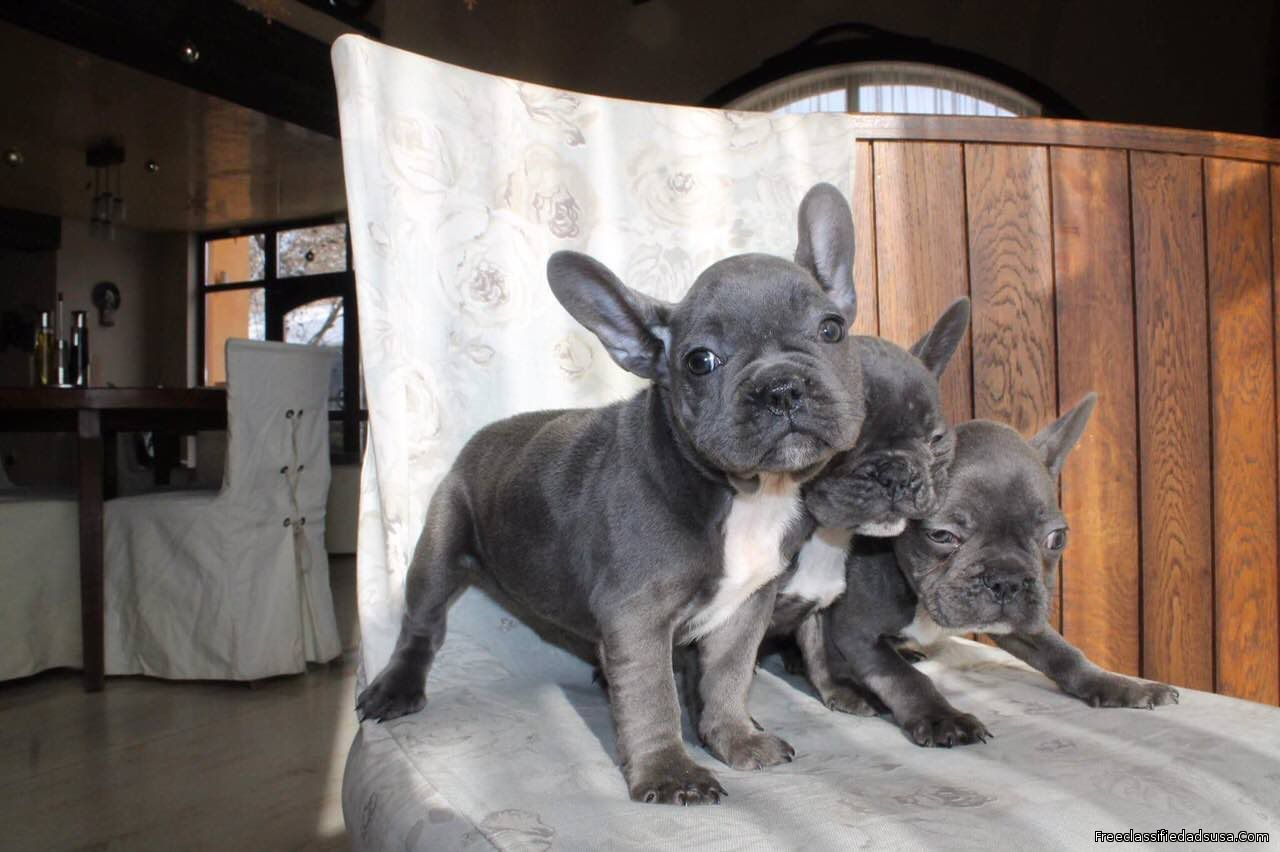 Stunning AKc Registered French Bulldog