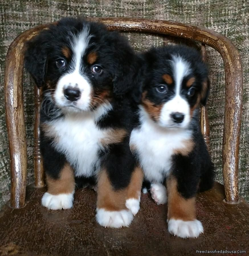 Gorgeous AKC Bernese Mountain Dog Puppies
