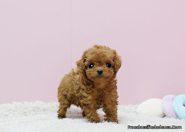 Mini Teacup Poodle Puppies For Sale - Tina