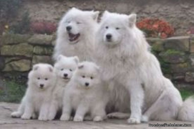 stunning litter Samoyed Puppies Now Looking For New Family