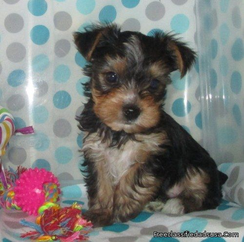 Yorkshire Terrier Puppies For A Lovely Family
