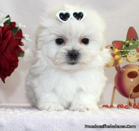 short button nose Maltese